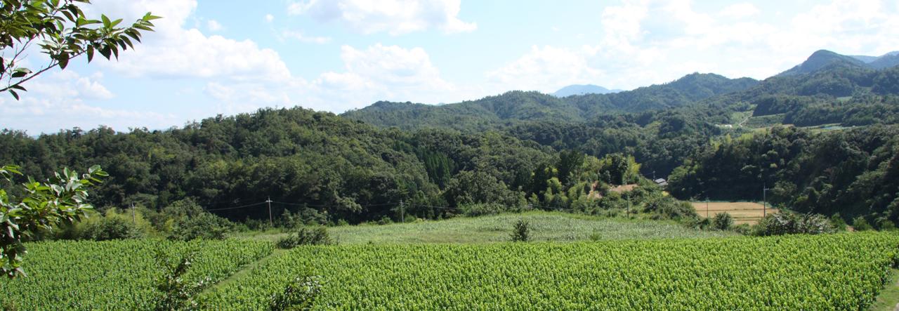 桑の葉畑の有機栽培へのこだわり